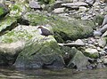 Dipper (Cinclus cinclus) near the mouth of the Afon Gwaun - geograph.org.uk - 1533279.jpg