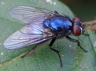<i>Eudasyphora</i> genus of insects