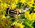 Diptera (2763478351).jpg