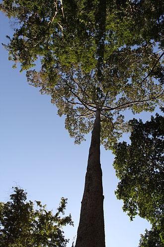Dipterocarpus alatus - Image: Dipterocarpus alatus
