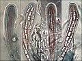 Dirina massiliensis Durieu & Mont 930006.jpg