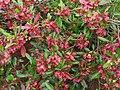 Dodonaea viscosa (5188011542).jpg