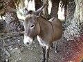 Donkey (Equus asinus) in Kalamiaris Palm Forest, Panayoudha, Lesvos.jpg