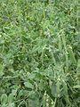 Doperwtplanten kreuk Kelvedon Wonder.jpg