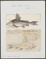 Doras costatus - 1700-1880 - Print - Iconographia Zoologica - Special Collections University of Amsterdam - UBA01 IZ14600139.tif