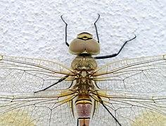 Dragonfly Porto Covo August 2021-3.jpg