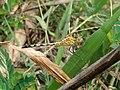 Dragonfly at Rajbiraj, Saptari, Nepal (1).jpg