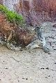 Driftwood at Red Cliffs-4+ (2469541332).jpg