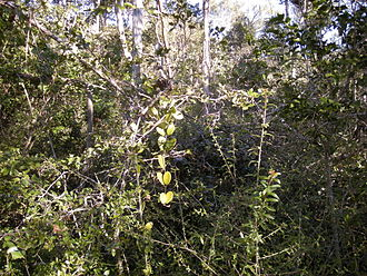 Jungle - Vine thicket, a typical impenetrable jungle, Australia