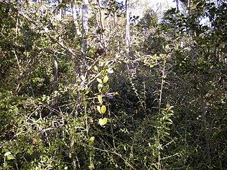 Jungle - Vine thicket, a typical impenetrable jungle, Australia