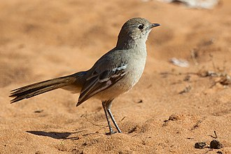 Australasian robin - Southern scrub robin (Drymodes brunneopygia)