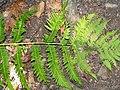 Dryopteris goldiana 2zz.jpg
