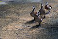 Ducks at Singapore Zoo (23799557703).jpg