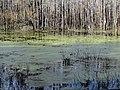 Duckweed Pee Dee NWR NC 5558 (15896151644).jpg