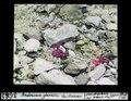 ETH-BIB-Androsace glacialis, Fex-Gletscher-Dia 247-03662.tif