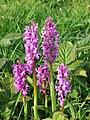 Early Purple Orchids - geograph.org.uk - 1536627.jpg