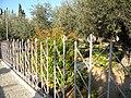 East Jerusalem, Olive Mountain (Gethsimani Garden); 11-3000-100 (5).jpg