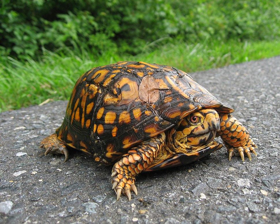 Eastern Box Turtle NPS