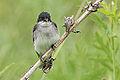 Eastern Kingbird sticking his tounge out at me. (9055101156).jpg