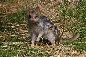Nielsen Park - Image: Eastern Quoll (Fawn)