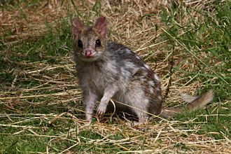 Eastern quoll - A fawn-coloured form of the eastern quoll photographed in Tasmania