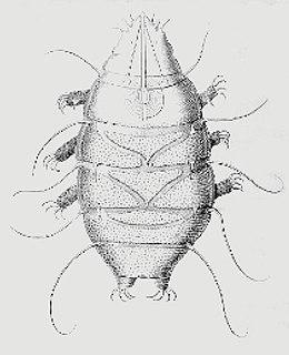 Heterotardigrada class of tardigrades