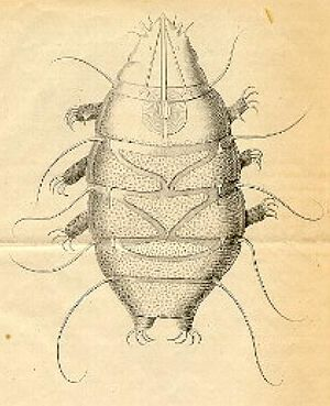 Echiniscus sp., Illustration