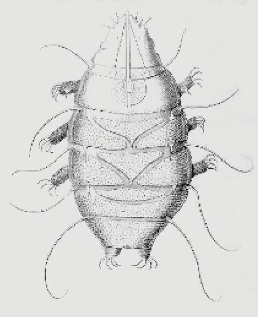 Echiniscus sp