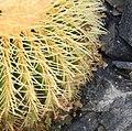 Echinocactus grusonii 01.jpg