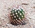 Echinofossulocactus zacatecasensis -20201220-RM-212827.jpg