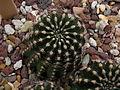 Echinopsis sp. c-3266 - 03.jpg