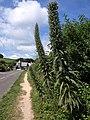 Echium pininana, Torcross - geograph.org.uk - 1359166.jpg
