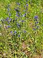 Echium vulgare Żmijowiec zwyczajny 2020-07-02 04.jpg