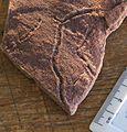 Ediacaran trace fossil.jpg