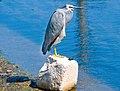 Egret at rest-1+ (304002479).jpg