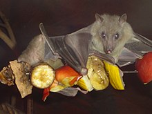 A yellowish-gray megabat sits atop a skewer of fruit slices, including banana and apple.