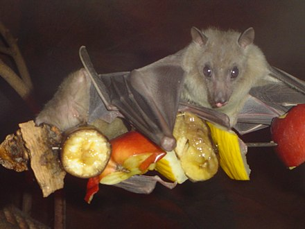 The Egyptian fruit bat (Rousettus aegyptiacus), which has tested positive for Marburg virus and antibodies against the Ebola virus, though not the actual virus. Egyptian fruit bat.jpg