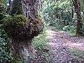 El árbol con senos - panoramio.jpg