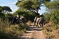 Elephant, Ruaha National Park (24) (28620352292).jpg