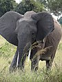 Elephant - Mikumi National Park - Tanzania - 02 (8893633610).jpg