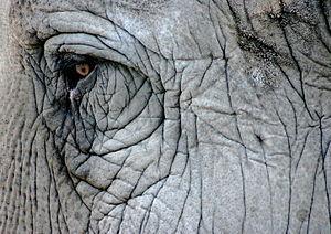 Elephant eye, San Diego Zoo