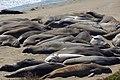 Elephant seals, Piedras Blancas 02.jpg