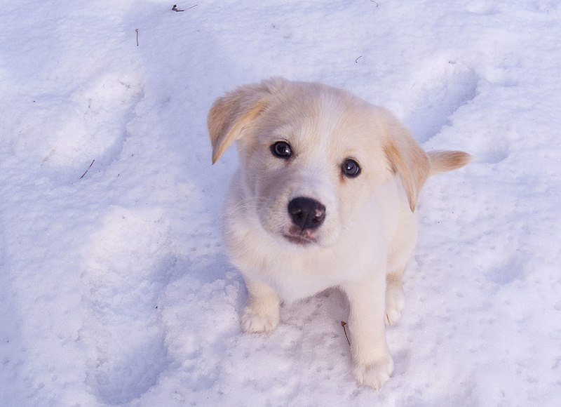 Ella the Snow Dog - adorable cream-colored puppy looking up at the camera in a field of snow