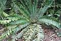 Encephalartos pterogonus 3zz.jpg