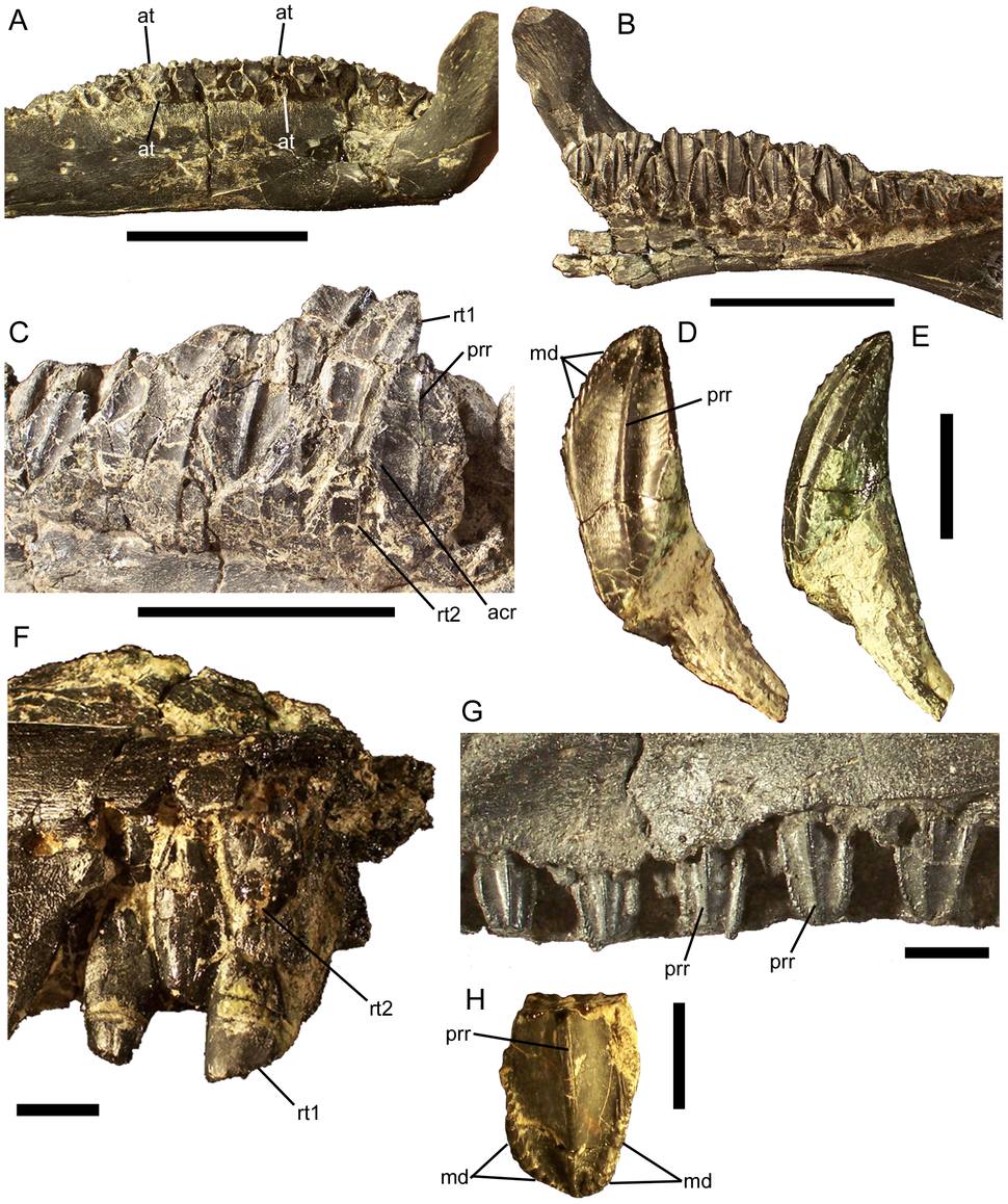 Eolambia dentition