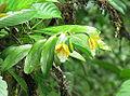 Epidendrum wallisii (10909660073).jpg