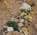 Eriogonum nudum-var-westonii plant.jpg