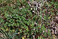 Erodium malacoides-Erodium fausse mauve-20190318.jpg