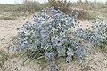 Eryngium maritimum kz09.jpg