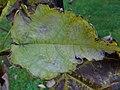 Erysiphe on Catalpa bigmonioides (2).jpg